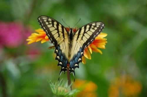 Butterfy on cornflower by Bruce Stambaugh