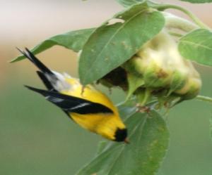 Goldfinch by Bruce Stambaugh