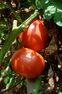Ripe tomatoes by Bruce Stambaugh