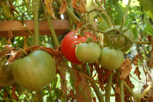 Brandywine tomatoes by Bruce Stambaugh