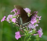 Butterfly on phlox by Bruce Stambaugh