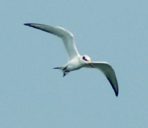 Common Tern at Lakeside, Ohio by Bruce Stambaugh