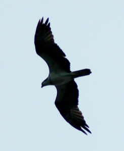 Osprey over Lakeside, Ohio by Bruce Stambaugh