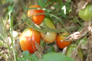 Tomatoes ripening on the vine by Bruce Stambaugh