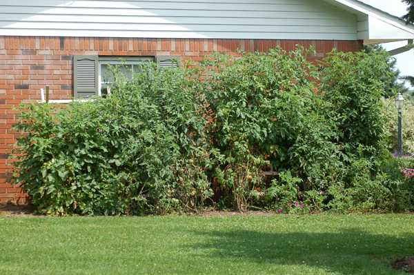 Tomatoes mid-August by Bruce Stambaugh