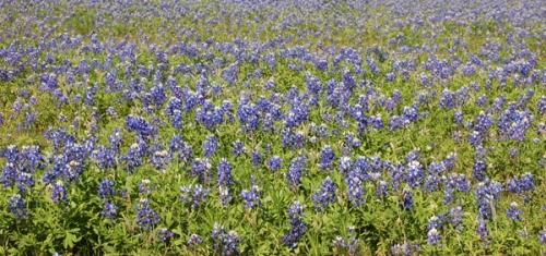 Texas Blue Bonnets by Bruce Stambaugh