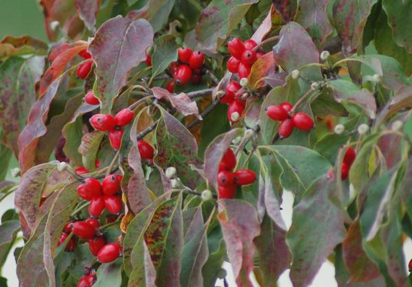 Image Result For Dogwood Tree Nurserya