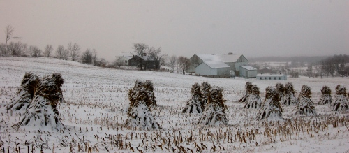 Snow covered cornshalks by Bruce Stambaugh
