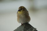 Goldfinch by Bruce Stambaugh