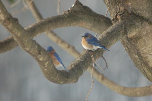 Bluebirds on maple limb by Bruce Stambaugh