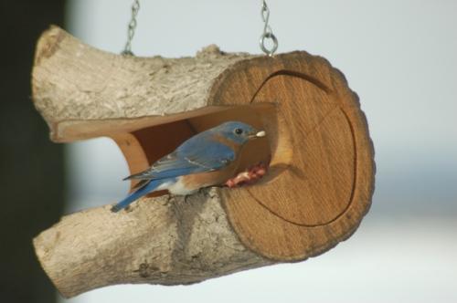 Bluebird with peanut by Bruce Stambaugh