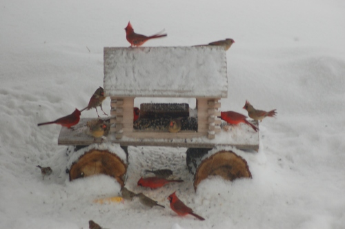 Cardinals galore by Bruce Stambaugh