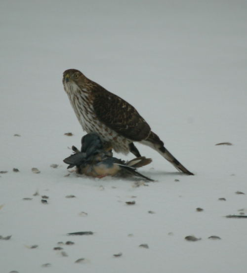 Cooper's Hawk with kill by Bruce Stambaugh