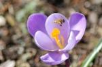 Honey bee by Bruce Stambaugh