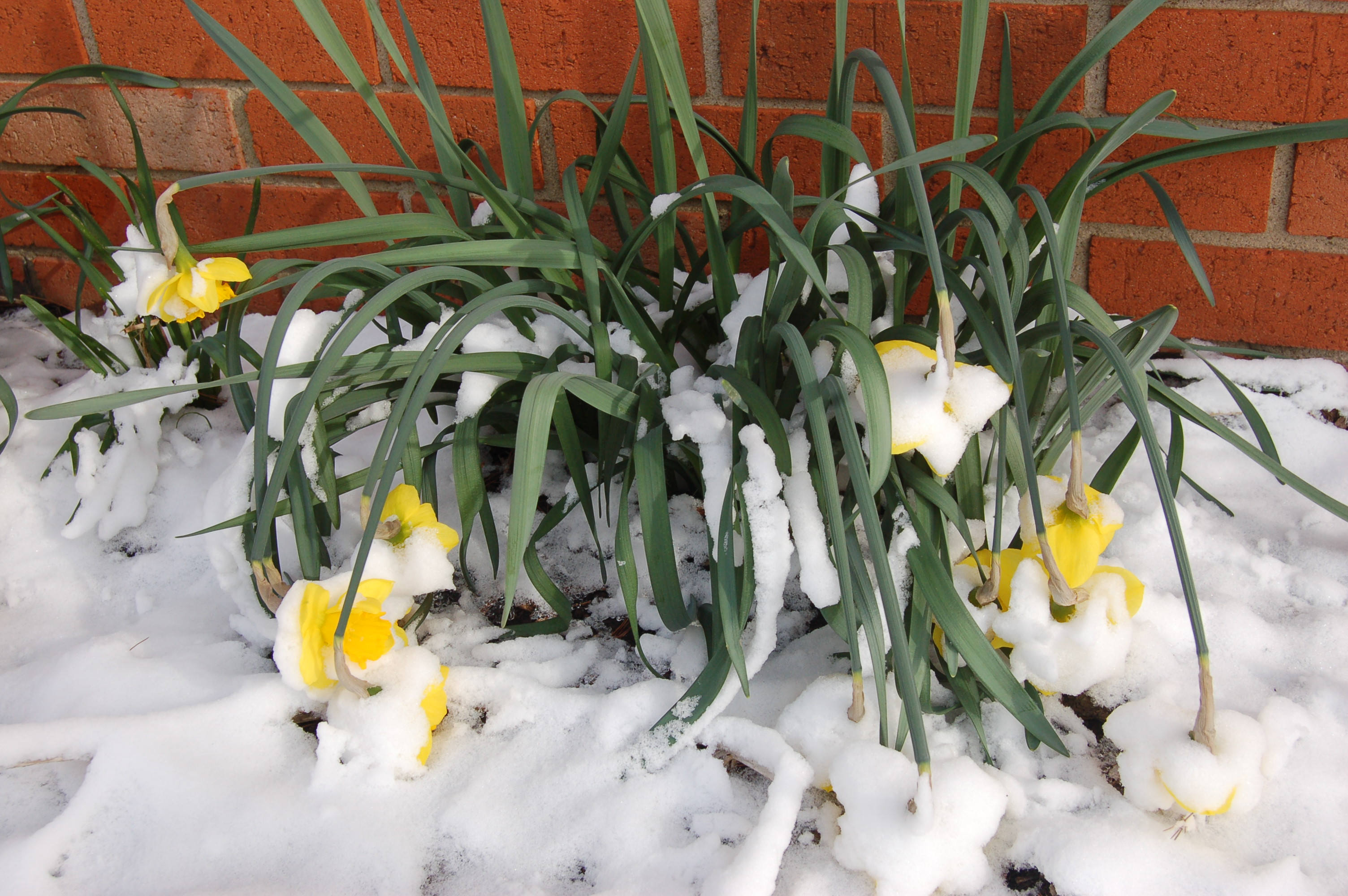 Drooping daffodils by Bruce Stambaugh