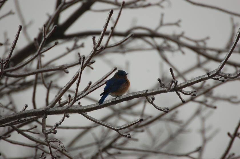 Bluebird on ice by Bruce Stambaugh