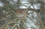 Song Sparrow by Bruce Stambaugh