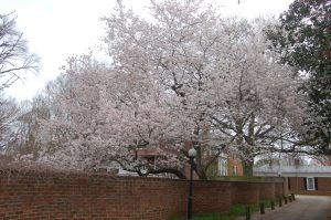 Blooms at UVA by Bruce Stambaugh