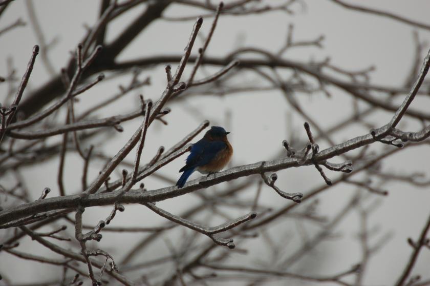 Bluebird on ice by Bruce Stambaugh