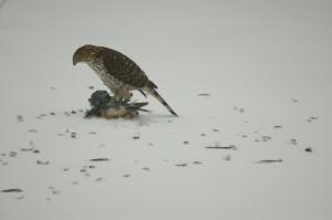 Cooper's Hawk by Bruce Stambaugh