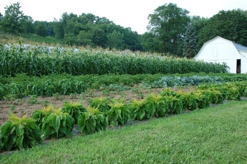 Amish garden by Bruce Stambaugh