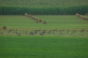 Geese in oats by Bruce Stambaugh
