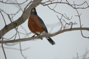 First Robin by Bruce Stambaugh