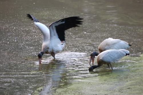 Wood Storks by Bruce Stambaugh