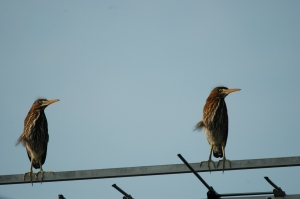 Green Herons by Bruce Stambaugh
