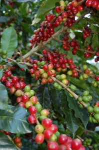 Coffee berries by Bruce Stambaugh