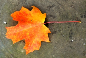 Sugar maple leaf by Bruce Stambaugh