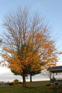 Maple tree by Bruce Stambaugh