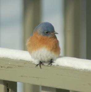 Bluebird by Bruce Stambaugh