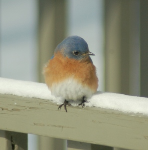 Bluebird by Bruce Stambaugh
