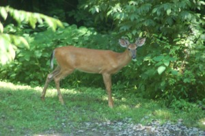 Young buck by Bruce Stambaugh