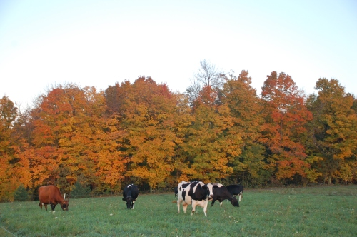 Cows and trees by Bruce Stambaugh