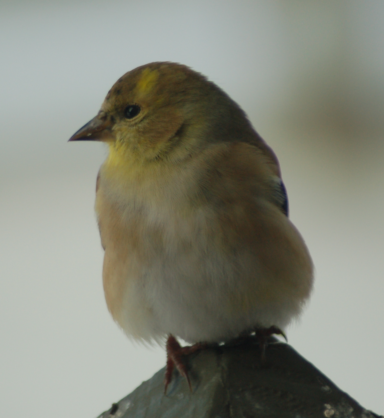 American Goldfinch by Bruce Stambaugh
