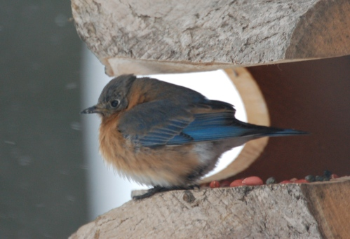 Eastern Bluebird by Bruce Stambaugh