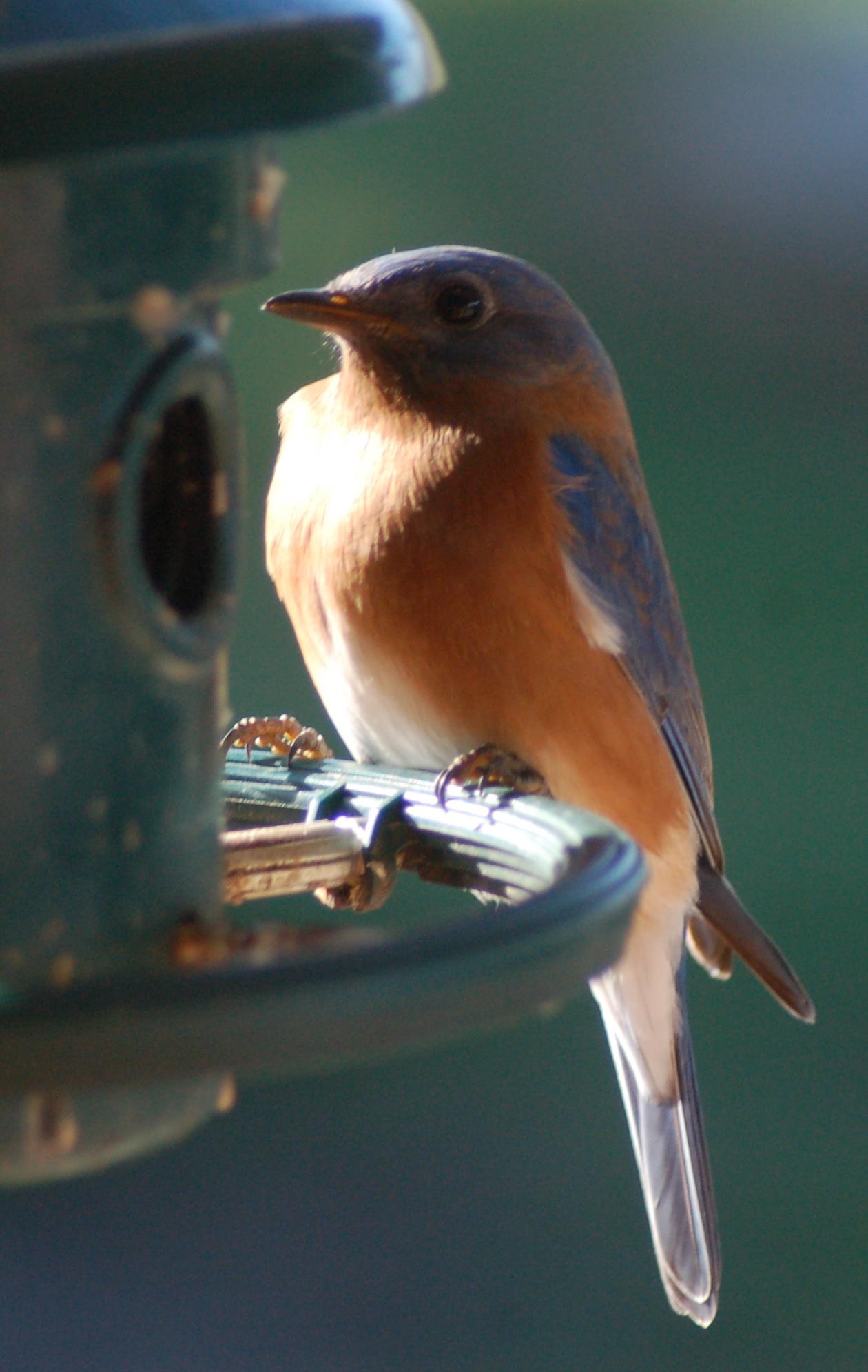 Christmas Bluebird by Bruce Stambaugh