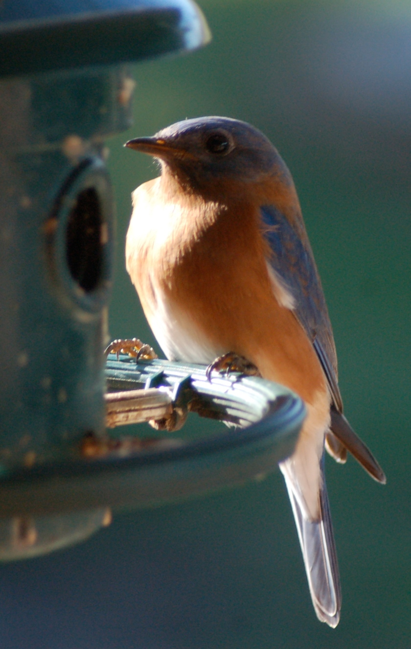 Christmas Bluebird by Bruce Stambaugh