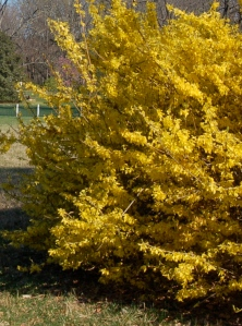 Forsythia by Bruce Stambaugh