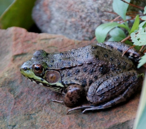 Green frog by Bruce Stambaugh