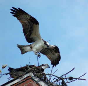 Ospreys at Corolla NC by Bruce Stambaugh