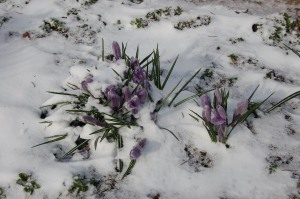 Frozen crocus by Bruce Stambaugh