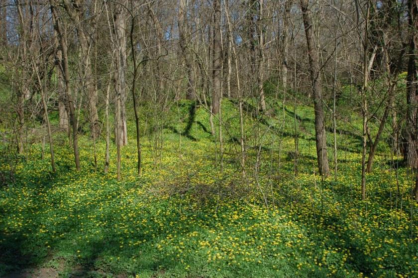 Dwarf dandelions by Bruce Stambaugh