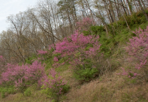 Redbuds by Bruce Stambaugh