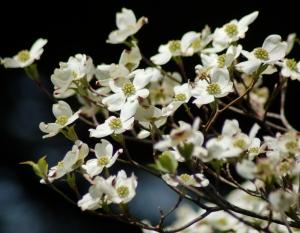 Dogwood blossoms by Bruce Stambaugh