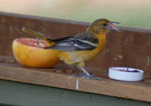 Baltimore Oriole by Bruce Stambaugh