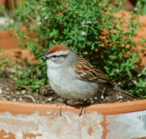 Chipping Sparrow by Bruce Stambaugh
