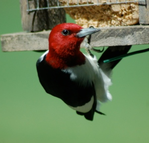 Red-headed Woodpecker by Bruce Stambaugh